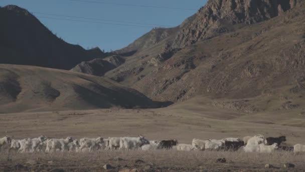 Kozy se pasou na krásné horské louce