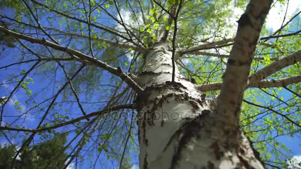 Natural landscape of sky and birch tree - symbol of Russia.