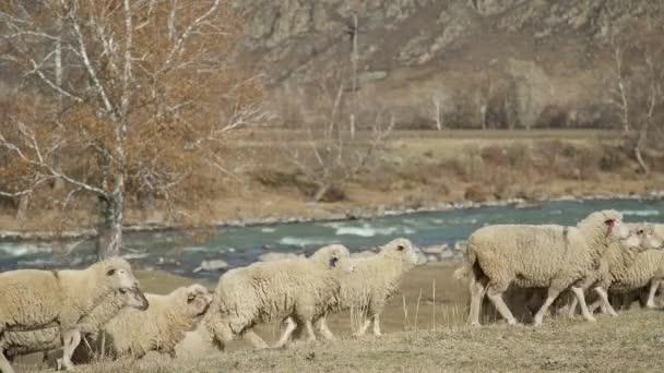 Ovcí v horách: stádo dobytka procházky v blízkosti řeky