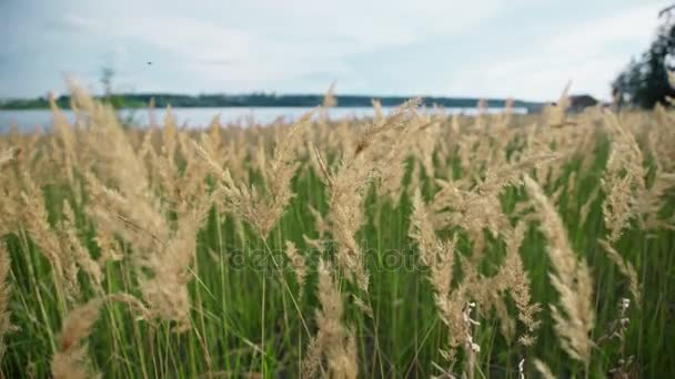 Green grass with golden and fluffy ears, river, nature.