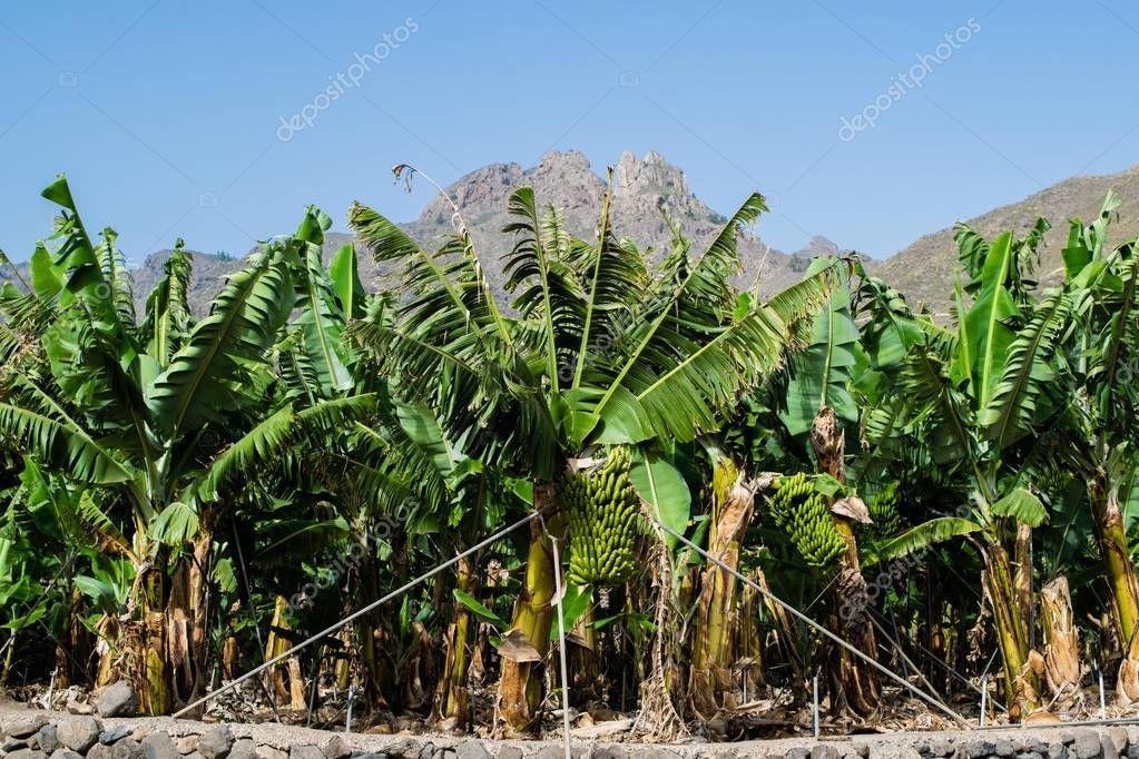 Banana plantation in the mountains, Tenerife, canary islands, Spain