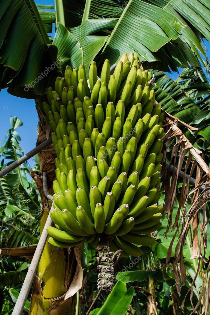 Bunch of bananas against green leaves at plantation, canary bananas, Tenerife