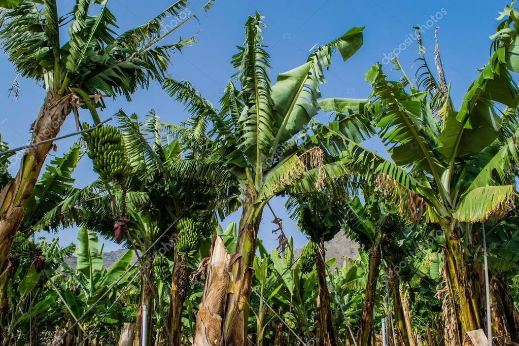 Banana plantation in the mountains, Tenerife, canary islands, Spain