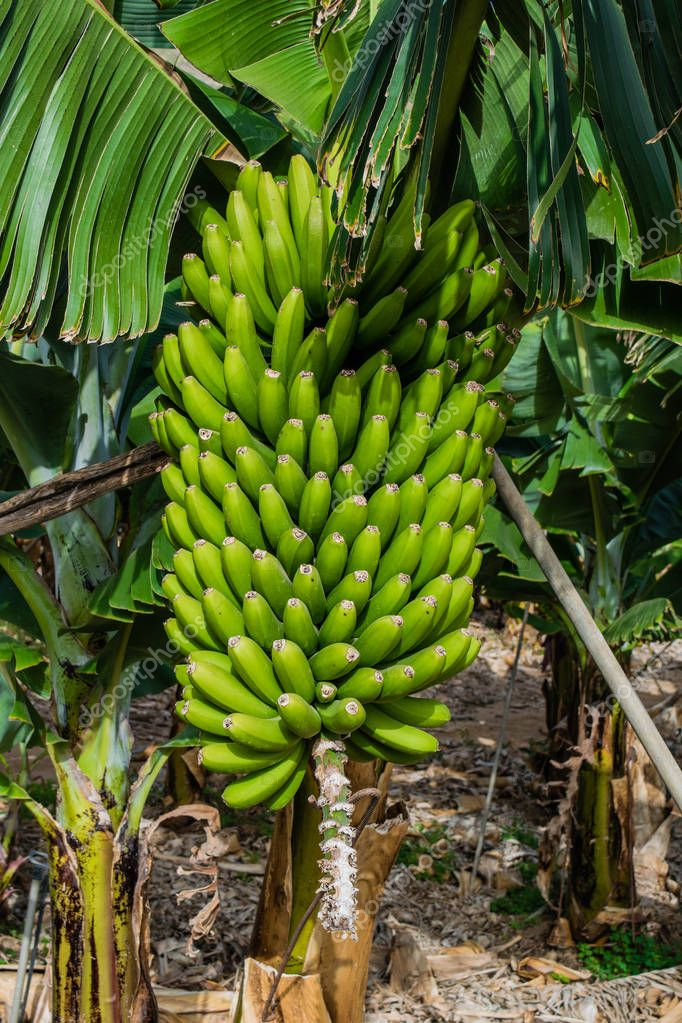 Bunch of bananas against green leaves at plantation, canary bananas, Tenerife