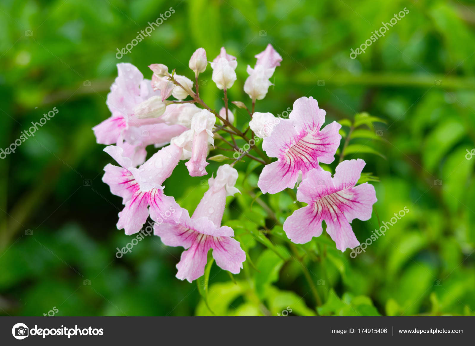 Pink trumpet vine podranea ricasoliana flower spain stock photo pink trumpet vine podranea ricasoliana flower spain stock photo mightylinksfo