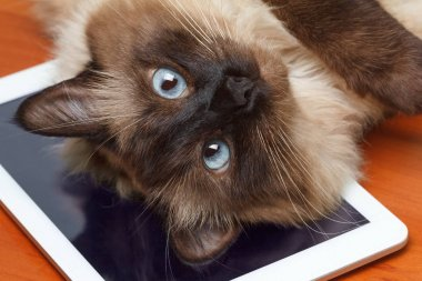 Cute cat plays on the tablet.