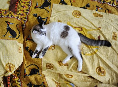 White blue-eyed fluffy cat lies on the bed, on bed linen with a print of Egyptian cats