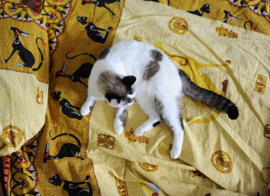 White fluffy cat lies on the bed, on bed linen with a print of Egyptian cats