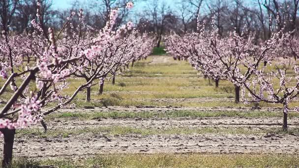 Tavaszi. Gyönyörű rózsaszín Virágzás őszibarack fák