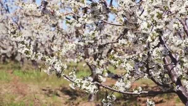 Fiatal, virágzó tavaszi kert a cseresznye. Sorozat