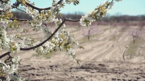 Fiatal, virágzó tavaszi kert a cseresznye. Sorozat.
