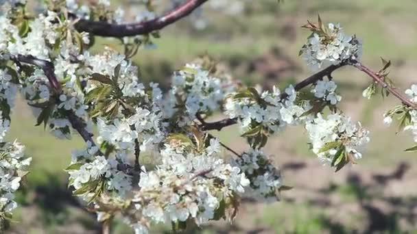 Růžový Třešňové květy na větrný den