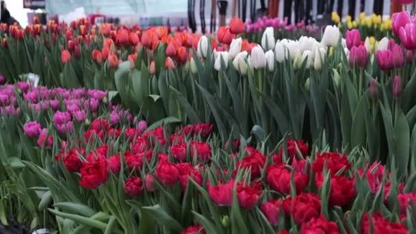 Tulipán květiny příroda čerstvá flóra