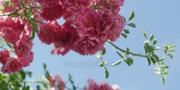 Pink rose flowers rose bush garden summer stock video myvisuals pink rose flowers rose bush garden summer stock video mightylinksfo