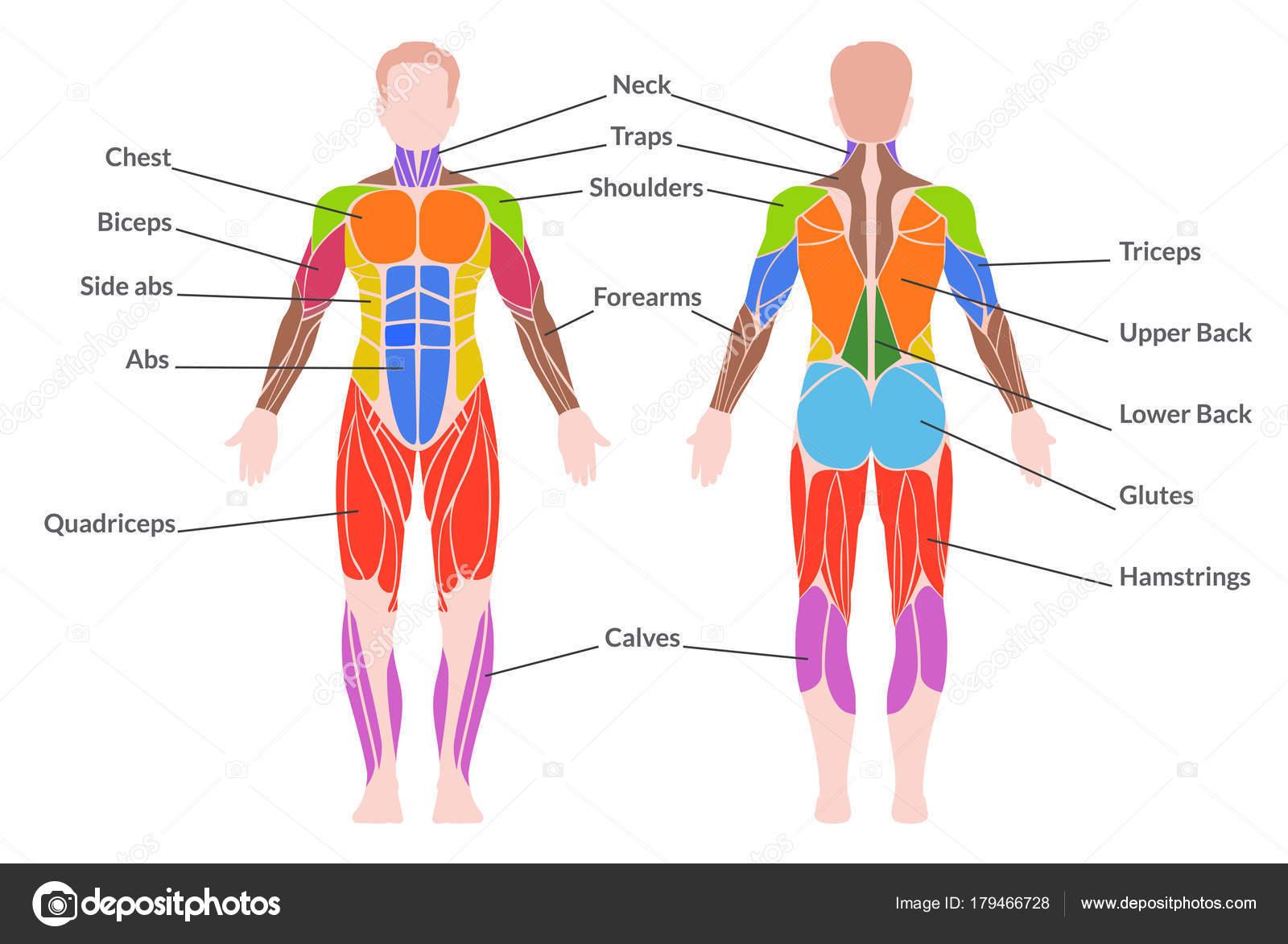 sistema muscular humano — Vector de stock © Axsimen #179466728