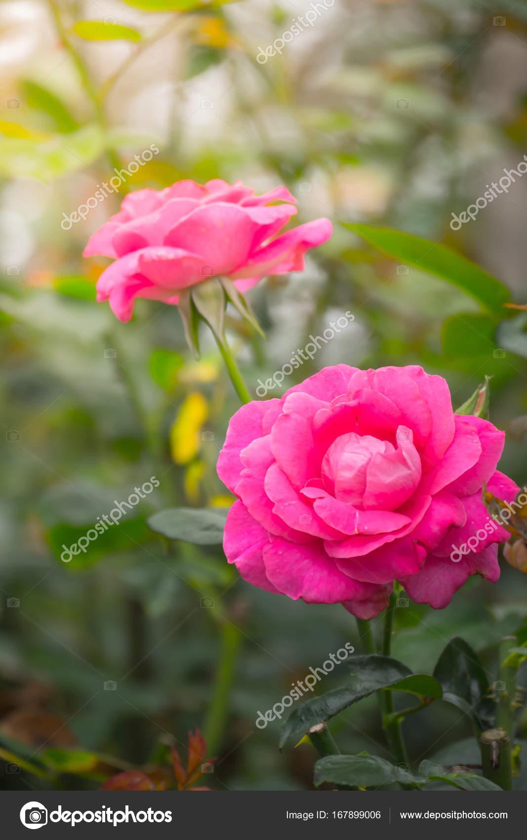 Roses dans le jardin photographie teerawit 167899006 for Jardin roses