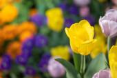 Gyönyörű tulipáncsokor. színes tulipánok. természet háttér