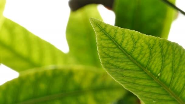 Zárja be a zöld levél alatt napfény a kertben. Természetes háttér másolási hellyel.