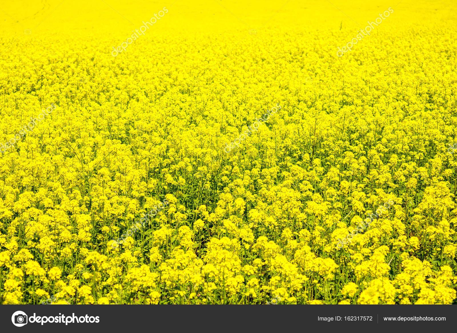 Campo De Colza Flores Amarillas Aceite Biocombustibles Campo De