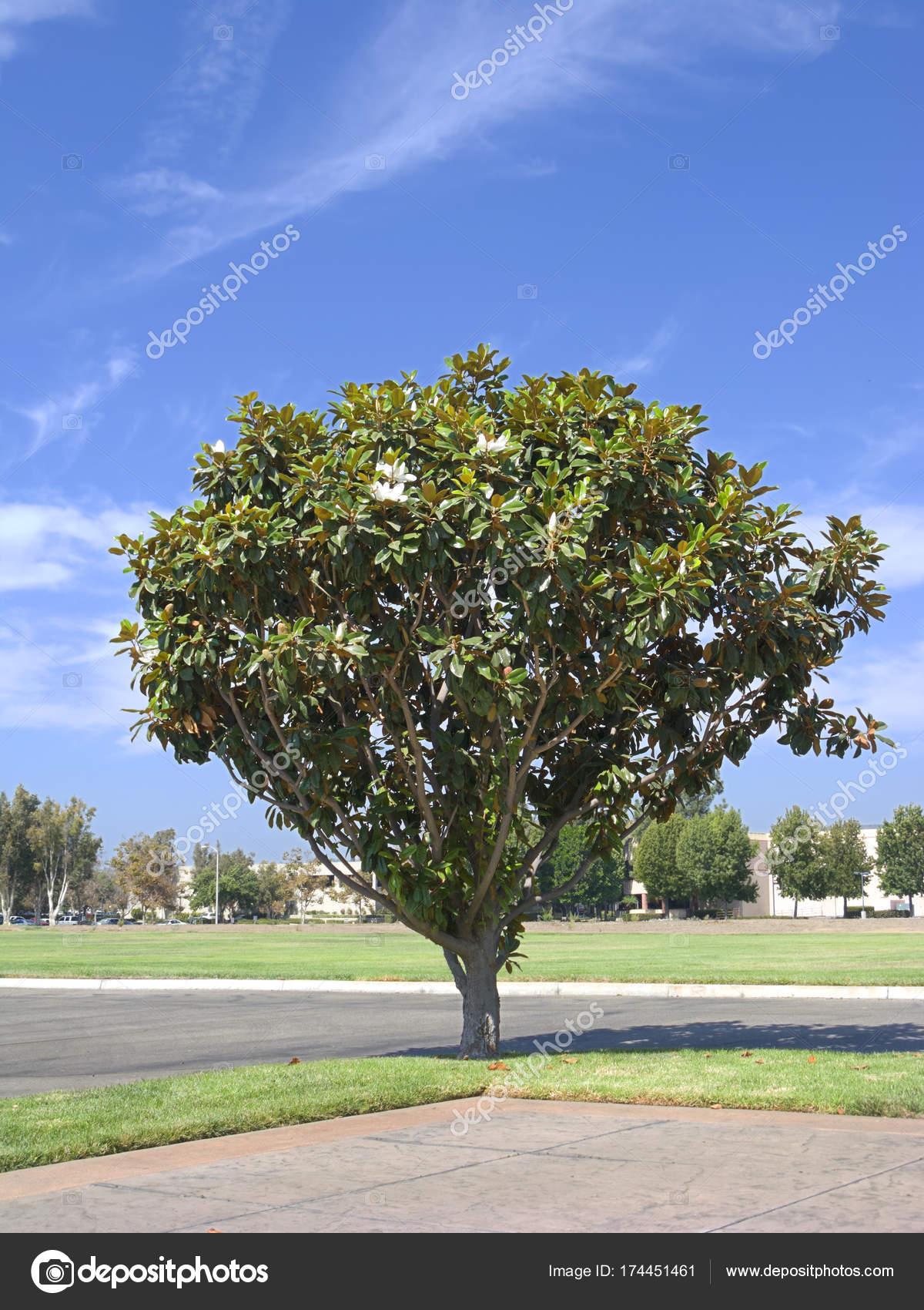 California magnolia tree stock photo fotoch 174451461 southern california magnolia tree with open white flowers photo by fotoch mightylinksfo
