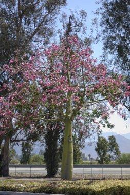Ceiba speciosa Tree