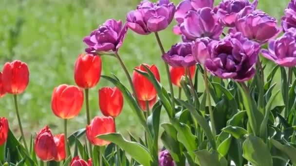Více barevné tulipány v zahradě