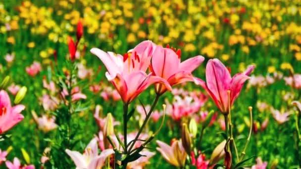 Pole s kvete růžovými květy