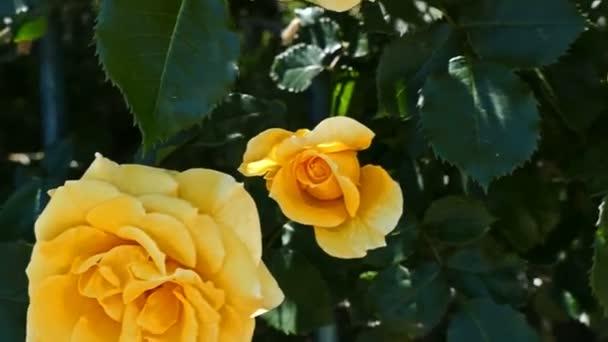 Rozkvetlé žluté růže. Detail