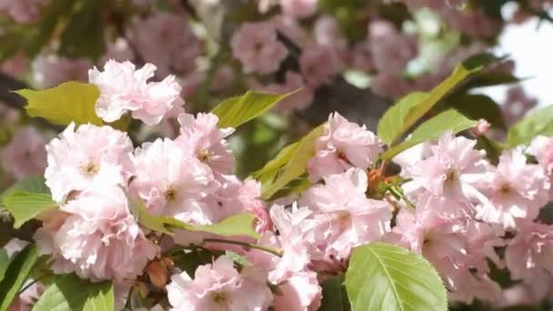 Růžový třešňových květů v zahradní detail