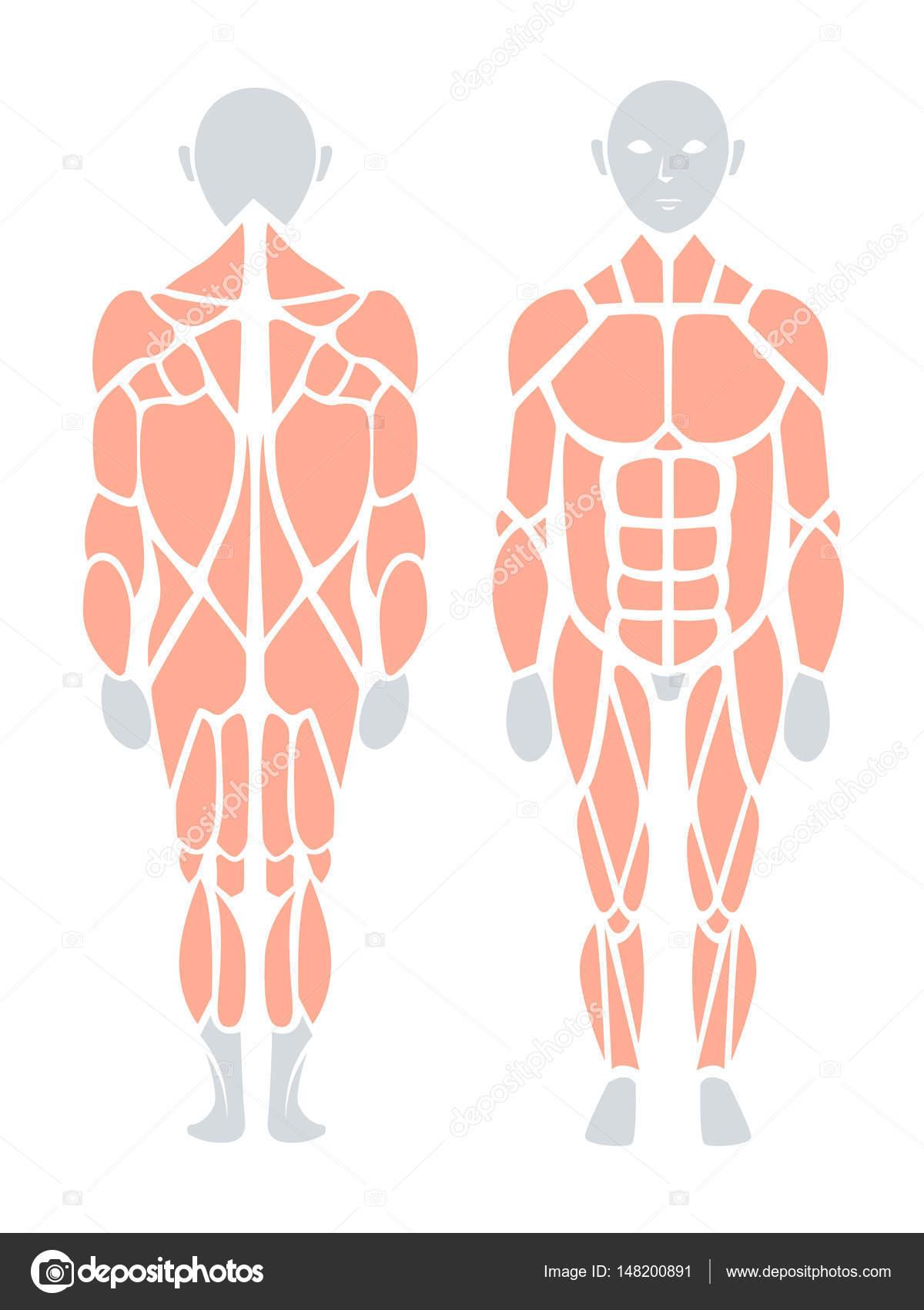 Anatomía del músculo humano en la parte posterior y frontal, Vector ...