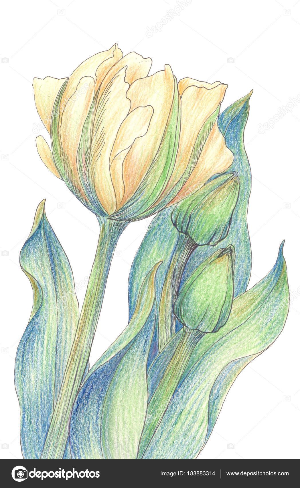 Tulipano Una Composizione Fiori Carta Parati Utilizzare Materiali