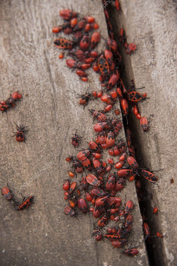 Pyrrhocoris apterus or Bedbugs-soldiers on a tree, red-black beetles