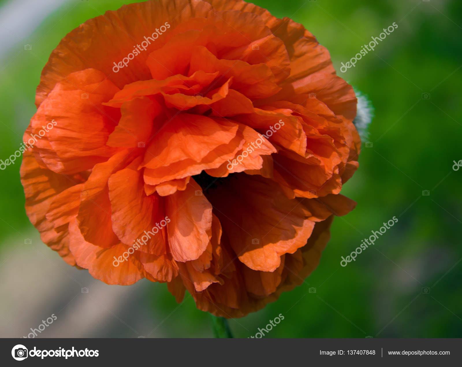 Red Poppy Flower With A Bud Closeup Stock Photo Kolesnikovserg
