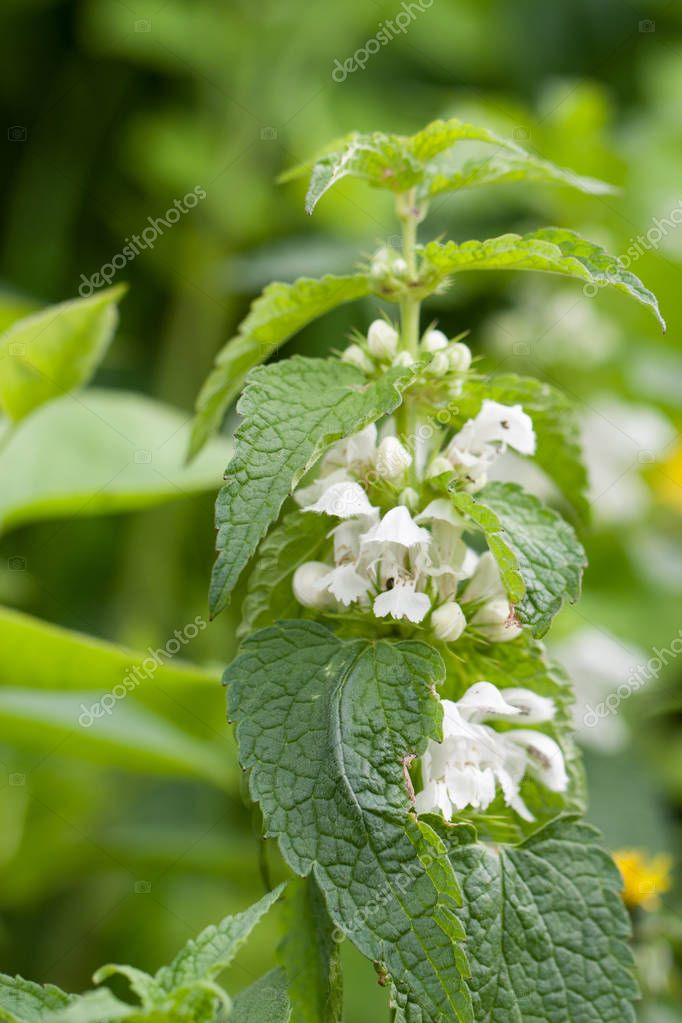 Blooming nettle bush with white flowers