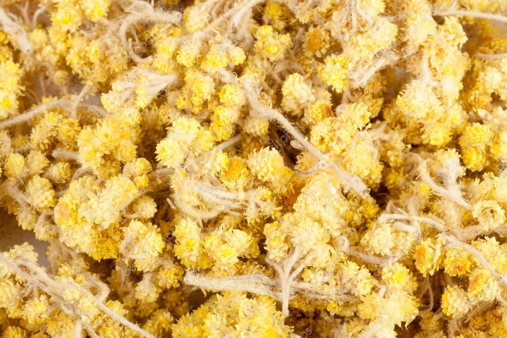 Dried Helichrysum or immortelle flowers isolated on white background