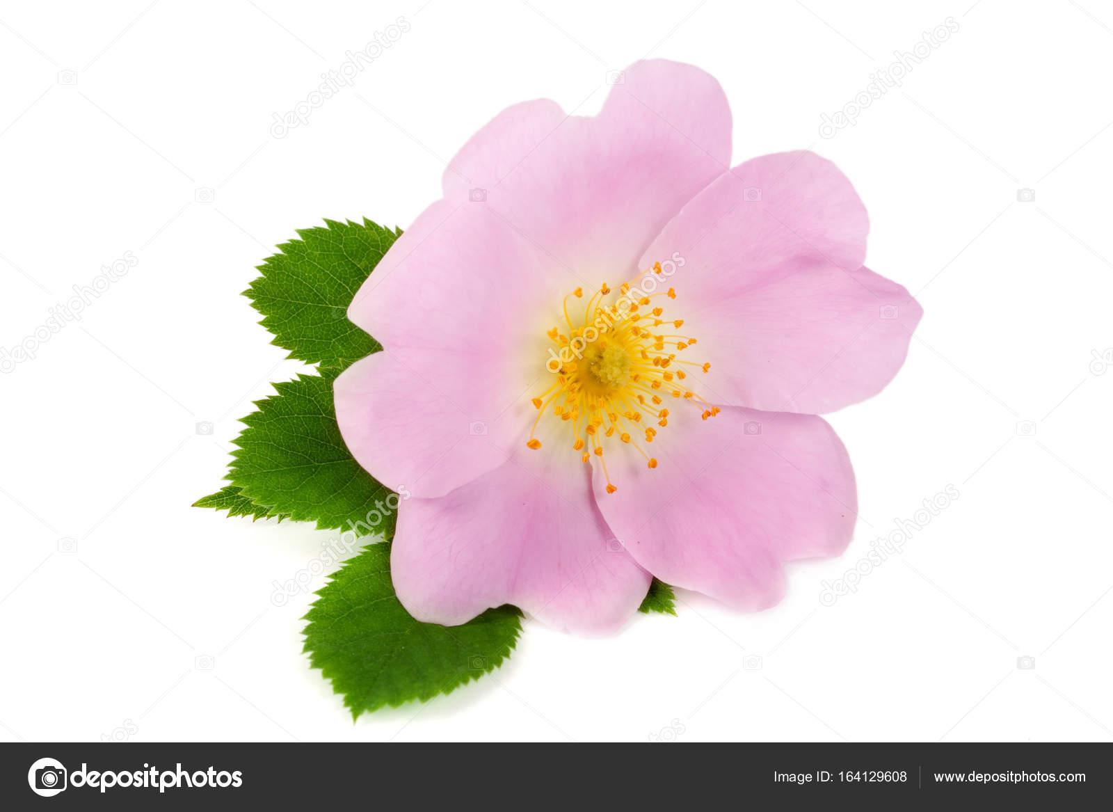 Fleur De Rose Musquee Avec Feuilles Isole Sur Fond Blanc
