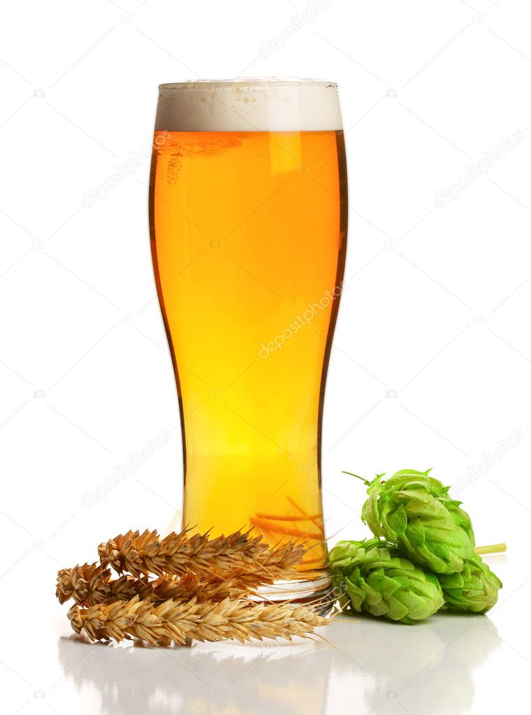 glass of foamy beer with hop cones and wheat isolated on white background