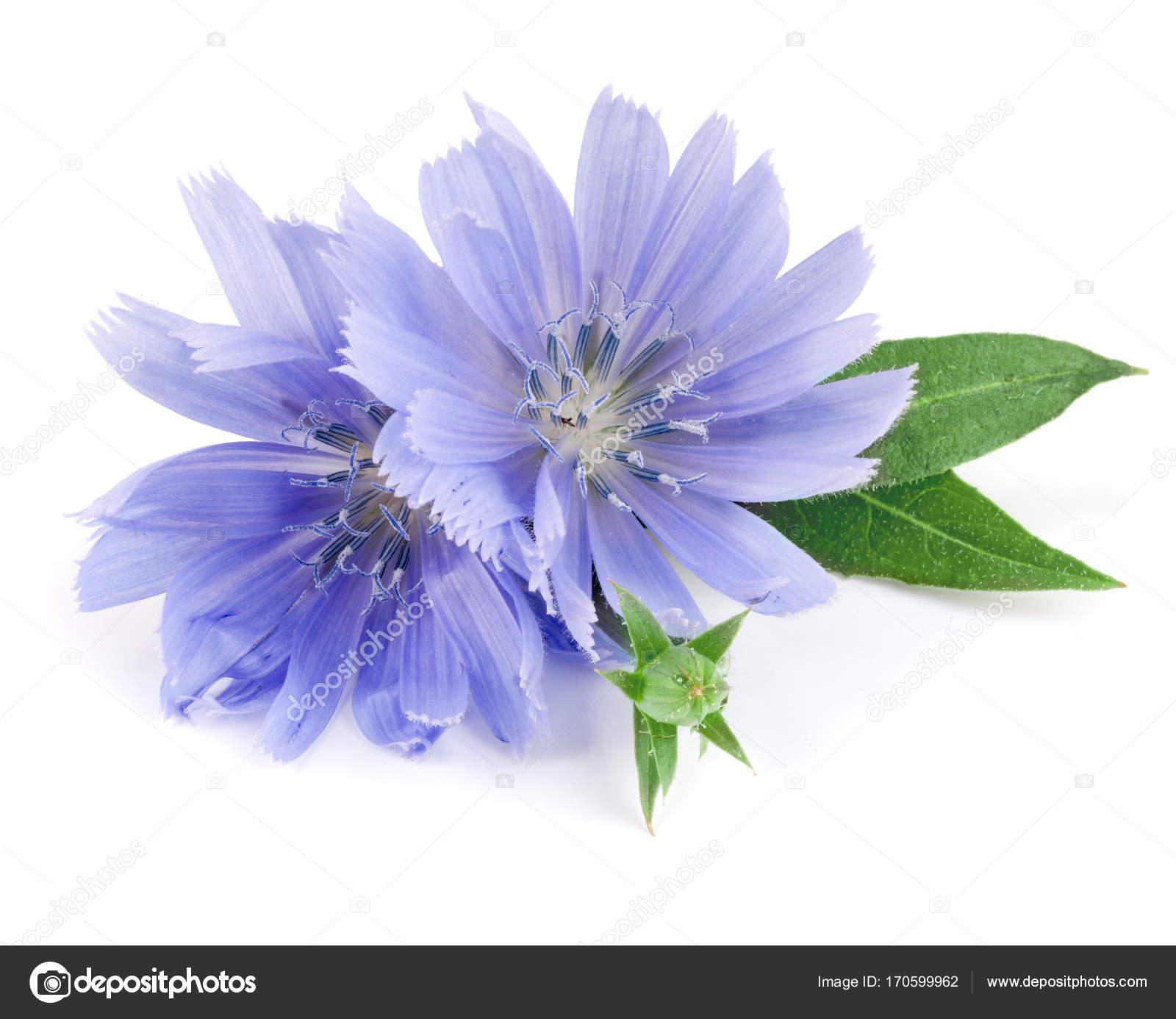 Chicorée Blüte Mit Blatt Isoliert Auf Weißem Hintergrund Makro