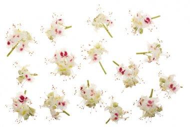 Chestnut flower or Aesculus hippocastanum, Conker isolated on white background