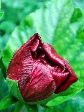 beautiful red tulip in the garden