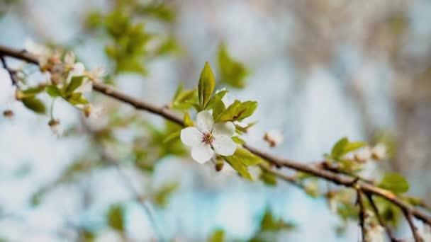 jaro duben květ bílá květina strom listí ve větru