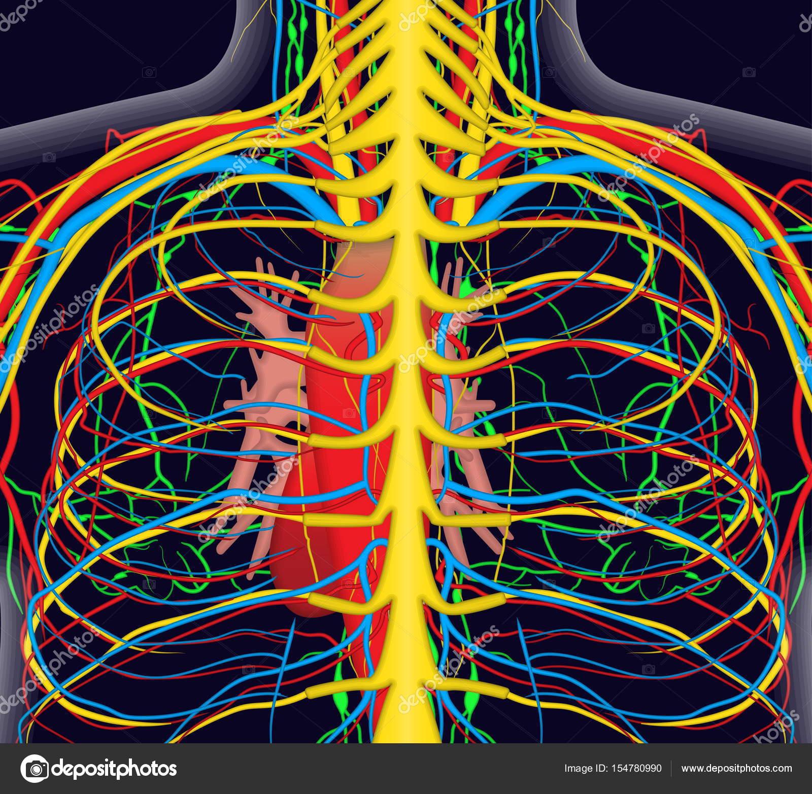 Anatomie Abbildung des menschlichen Rücken Brust mit nervös und ...