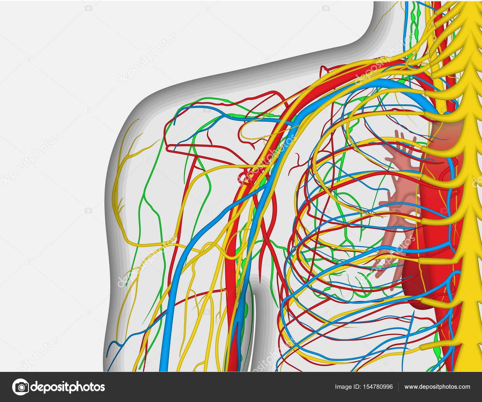 Anatomie Abbildung des menschlichen Rücken Schulter mit nervös und ...