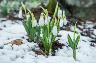 White gentle snowdrops in the snow