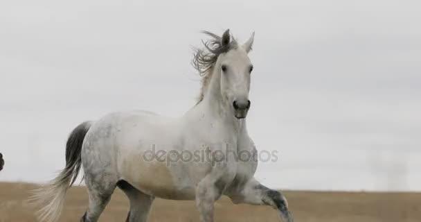 Divocí koně na poli běží tryskem