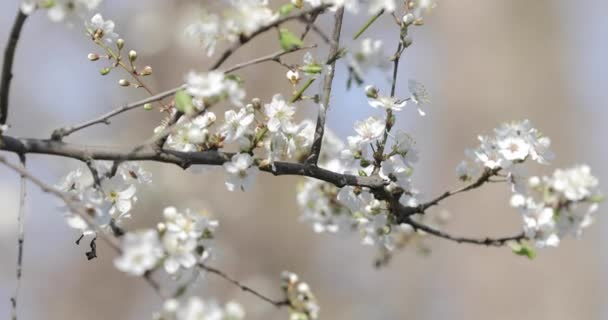 Cherry tree flowers blooming in spring