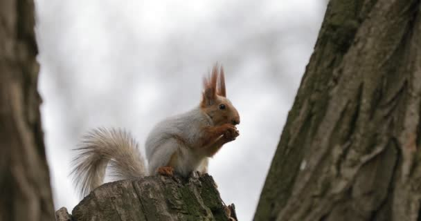 Squirrel eats a nut on the tree