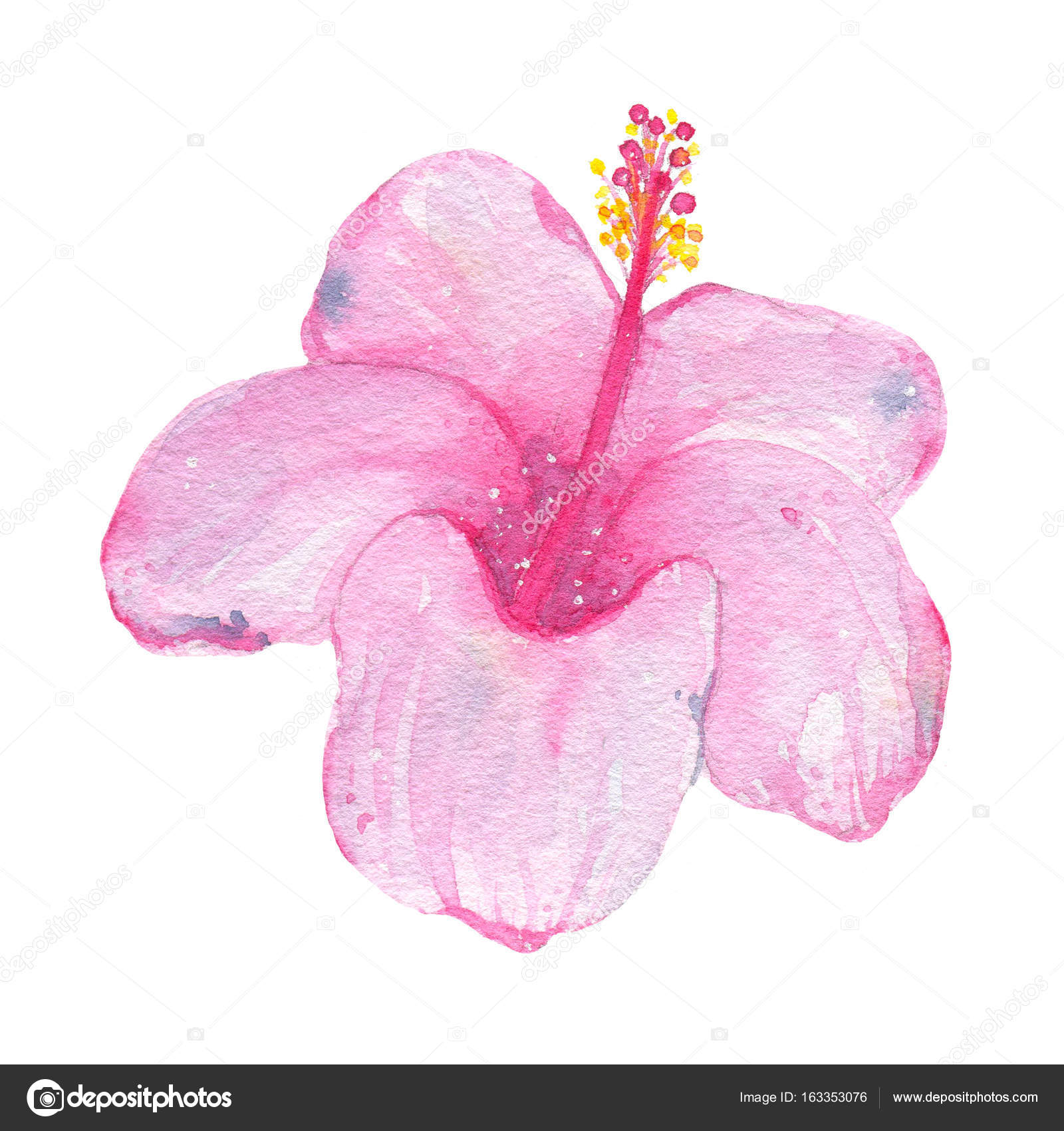 Watercolor Hand Painted Tropical Flower Pink Hibiscus Isolated On