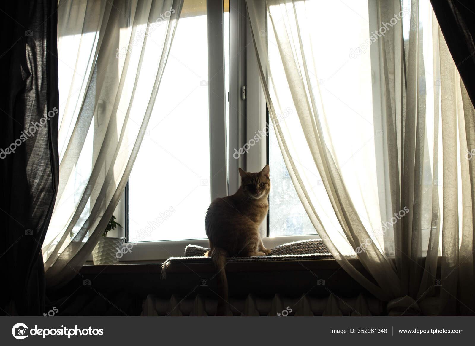 Cat Sitting Window Large Window Transparent Curtains Stock Photo C 9905099 Ukr Net 352961348
