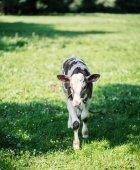 Una mucca è al pascolo in un prato. Mucca da latte. Rustica mucca
